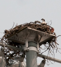 Ospreys are part of the atmosphere